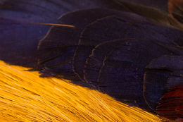 H.S.C. Golden Pheasant Skin Wings